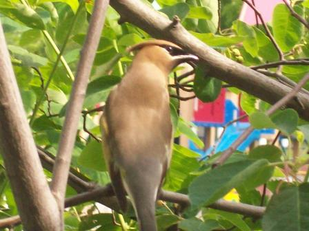 Return of the Cedar Waxwing